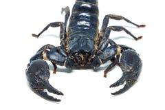 Scorpion d'isolement sur le fond blanc Photo libre de droits