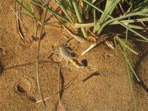 Scorpion de désert Image stock