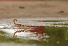 Scorpion de rouge indien dans l'eau Photo libre de droits