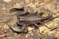 Scorpion, Euscorpiops longimanus, Euscorpiidae, Jampue hills, Tripura , India. Scorpion, Euscorpiops longimanus, Euscorpiidae, Jampue hills Tripura state of stock images