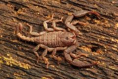 Scorpion, Euscorpiops longimanus, Euscorpiidae, Jampue hills, Tripura. Scorpion, Euscorpiops longimanus, Euscorpiidae Jampue hills Tripura India royalty free stock photos