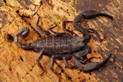 Scorpion, Euscorpiops longimanus, Euscorpiidae, Jampue hills, Tripura. Scorpion, Euscorpiops longimanus, Euscorpiidae Jampue hills Tripura India stock photos