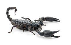 scorpion för kejsareimperatorpandinus Royaltyfria Foton
