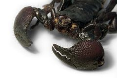 Scorpion face detail Royalty Free Stock Photos