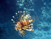 Scorpion fish. From the red sea in egypt Royalty Free Stock Photo