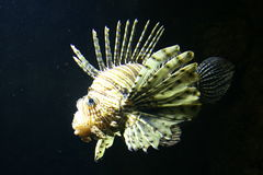 Scorpion Fish Royalty Free Stock Photos
