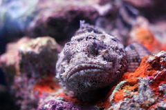 Scorpion fish. A resting scorpion fish in a colorful aquarium Royalty Free Stock Image