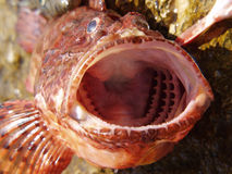 Scorpion fish Royalty Free Stock Photography