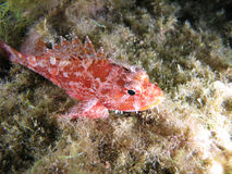Scorpion Fish. Scorpaena Notata, a kind of Scorpion fish. Shotted in the wild royalty free stock photography