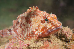 Scorpion fish Stock Photos