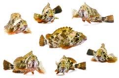 Scorpion fish Royalty Free Stock Image