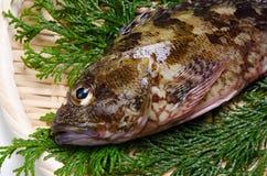 Scorpion fish Stock Photos