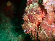 Scorpion fish. Scorpionfish on a rock Royalty Free Stock Images
