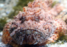 Scorpion Fish 3 Royalty Free Stock Image