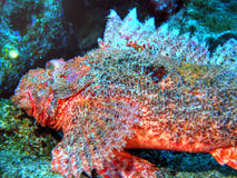 Scorpion Fish Royalty Free Stock Images