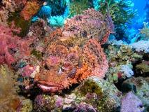 Scorpion Fish. Red Sea, Egypt Royalty Free Stock Photo