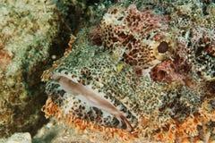 Scorpion fish - Andaman Sea Royalty Free Stock Image