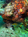 Scorpion fish and an Angel Fish Stock Image