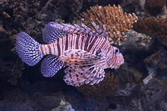 Scorpion Fish in Aquarium Royalty Free Stock Image