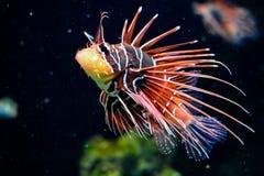 SCORPION FISH IN AQUARIUM stock photo