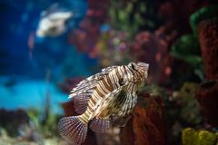 Scorpion fish in aquarium. Poison scorpion fish in aquarium royalty free stock photos