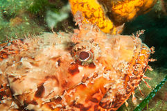 Scorpion Fish Stock Photo