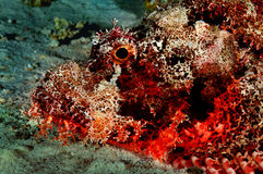 Scorpion Fish. Close up shot of a fish scorpion, alert our presence Royalty Free Stock Photos