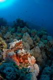 Scorpion fish on coral reef. Big scorpion fish on coral reef Stock Images