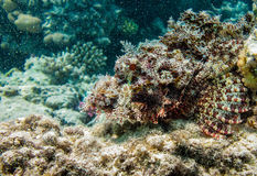 Scorpion fish disguising on rock. Scorpion stone fish disguising wich coral rock Royalty Free Stock Images