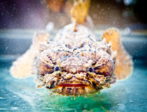 Scorpion Fish in Ho Chi Minh, Vietnam. Stock Photography