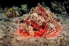 Scorpion Fish II Stock Photography