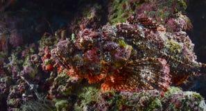 Scorpion Fish III Royalty Free Stock Photo