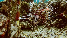 Scorpion fish near pier pale. Floating in ocean water with open red striped fin. Diving spot stock footage