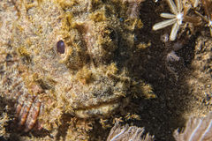 Scorpion Fish portrait Stock Photos