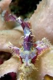 Scorpion fish on reef.  Indonesia Sulawesi Stock Photo