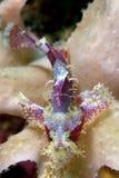 Scorpion fish on reef.  Indonesia Sulawesi. Lembehstreet Stock Photo