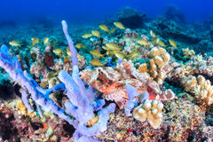 Scorpion fish on a reef Royalty Free Stock Images