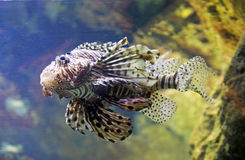 Scorpion fish. A scorpion fish is swimming in the deep water Royalty Free Stock Photo