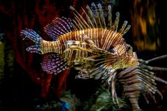 Scorpion fish under water life reef royalty free stock images
