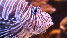 Scorpion fish. Underwater. Aquarium with exotic fish stock footage