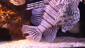 Scorpion fish. Underwater. Aquarium with exotic fish stock video