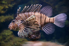 Scorpion fish underwater close up Royalty Free Stock Photos