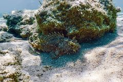 Scorpion Fish Underwater Underwater Life. Small red scorpionfish Scorpaena notata. Nature Background stock images
