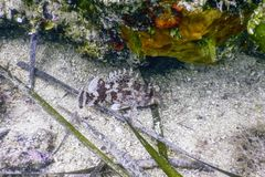 Scorpion Fish Underwater Underwater Life. Small red scorpionfish Scorpaena notata. Underwater Wildlife stock photography