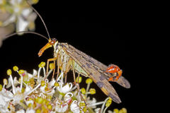 Scorpion Fly. A male Scorpion Fly on a flower royalty free stock photos
