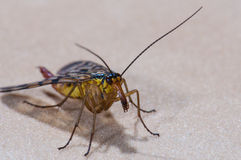 Scorpion fly Royalty Free Stock Images