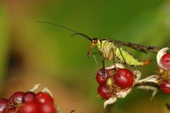 Scorpion fly on blackberry Royalty Free Stock Image