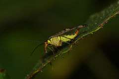 Scorpion fly on a leaf. Scorpion fly on the edge of a leaf against dark green background Royalty Free Stock Photography