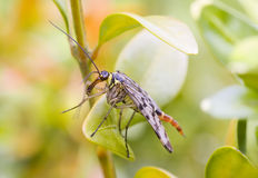 Scorpion fly. On leaf macro royalty free stock photography