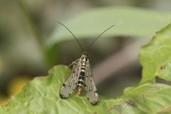 Scorpion fly on leaf. Scorpion fly resting on a leaf Royalty Free Stock Image